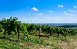 Groene wijngaard in Tokaj-gebied in Hongarije Stock Foto