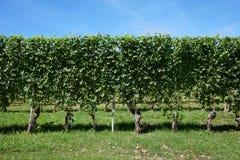 Groene wijngaard, wijnstokhaag in een zonnige dag, blauwe hemel Royalty-vrije Stock Afbeeldingen