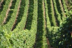 Groene Wijngaarden Royalty-vrije Stock Foto's