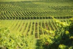 Groene Wijngaarden Stock Afbeeldingen