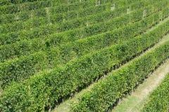 Groene wijngaarden in een zonnige dag, hoge hoekmening Royalty-vrije Stock Foto