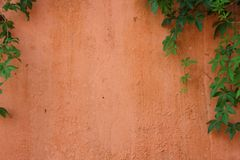 Groene wijnstok op bleke oranje cementmuur Royalty-vrije Stock Foto's