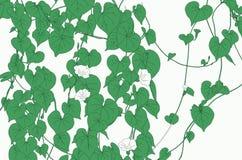 Groene wijnstok op witte achtergrond Stock Fotografie
