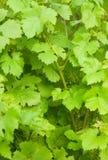 Groene wijnstokbladeren Stock Afbeeldingen