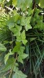 Groene Wijnstokken Stock Foto