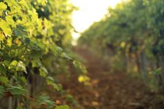 Groene wijnstokken die in wijngaard groeien stock afbeelding