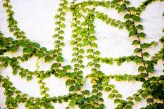 Groene wijnstokken op muur Royalty-vrije Stock Afbeeldingen