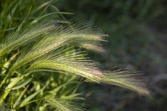 Groene wilde de aardachtergrond van de grastarwe stock afbeeldingen
