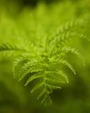 Groene wilde varen Royalty-vrije Stock Foto's