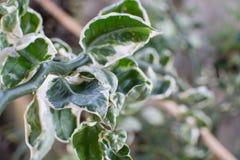 Groene witte bladeren Royalty-vrije Stock Afbeelding
