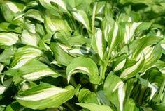 Groene witte bladeren van hosta met regendalingen Royalty-vrije Stock Afbeelding