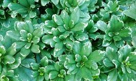 Groene witte bladeren voor achtergrond Royalty-vrije Stock Afbeeldingen