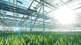 Groene zaailingen die in de zonovergoten serre groeien stock footage