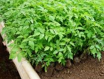 Groene zaailingstomaten in tuin Royalty-vrije Stock Afbeeldingen