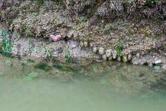 Groene Zeeanemonen en een Reuzezeester royalty-vrije stock fotografie