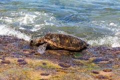 Groene zeeschildpad die op kust kruipen stock afbeeldingen