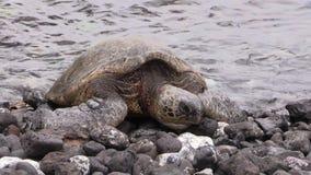 Groene Zeeschildpad die op Rocky Maui Beach rusten stock video