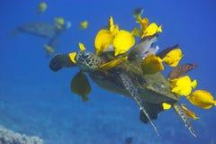Groene Zeeschildpad die worden schoongemaakt royalty-vrije stock fotografie