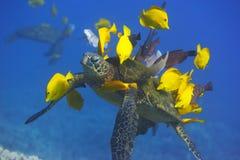 Groene Zeeschildpad die worden schoongemaakt royalty-vrije stock afbeeldingen