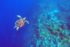 Groene zeeschildpad in diep blauw zeewater Van de overzeese onderwaterfoto schildpad de hoogste mening royalty-vrije stock afbeelding