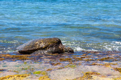 Groene zeeschildpad grazlng stock foto's