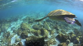 Groene zeeschildpad onderwater komst omhoog voor lucht stock footage