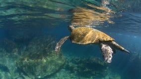 Groene zeeschildpad onderwater komst omhoog voor lucht stock video