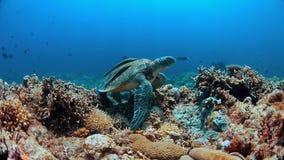 Groene Zeeschildpad op een koraalrif Stock Foto