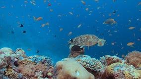 Groene Zeeschildpad op een koraalrif Stock Fotografie