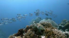 Groene Zeeschildpad op een koraalrif met Anthias en Sweetlips royalty-vrije stock fotografie