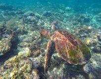 Groene zeeschildpad in wilde aard onderwaterfoto Royalty-vrije Stock Afbeeldingen