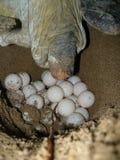 Groene zeeschildpadden die de eieren op het strand leggen stock foto's