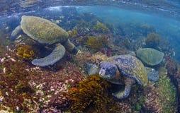 Groene zeeschildpadden die, de Eilanden van de Galapagos voeden Stock Afbeelding