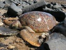 Groene zeeschildpadden op het strand dat in de rotsen wordt geplakt stock foto's