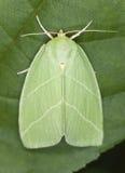 Groene zilveren-Lijnen (prasinana Bena) Stock Fotografie