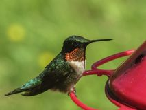 Groene Zoemende Vogel die bij Rode Voeder eten Royalty-vrije Stock Afbeeldingen