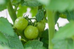 Groene zoete tomaat Stock Foto's