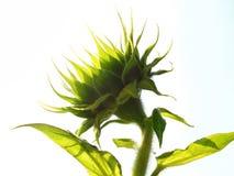 Groene zonnebloem stock foto's