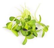 Groene zonnebloemspruiten Stock Fotografie