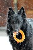 Groenendael in de sneeuw Stock Foto