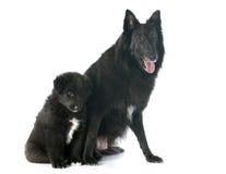 Groenendael del perrito y del adulto Fotos de archivo libres de regalías