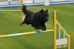 Groenendael jumping. A black belgian shepherd - groenendael over the obstacle royalty free stock photo