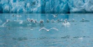 Groenlandia, vuelo de la gaviota delante de un glaciar rodeado por más gaviotas Imagenes de archivo