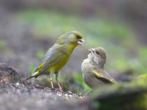 Groenling, europejczyk Greenfinch, Carduelis chloris obraz royalty free