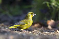 Groenling, europejczyk Greenfinch, Chloris chloris obrazy stock