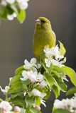 Groenling, europejczyk Greenfinch, Chloris chloris obrazy royalty free