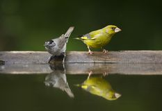 Groenling, europejczyk Greenfinch, Chloris chloris obraz stock