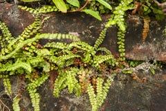 Groensteel, Spleenwort vert, viride d'Asplenium images stock