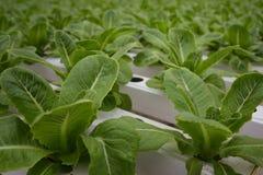 Groente in het Hydroponic landbouwbedrijf royalty-vrije stock foto