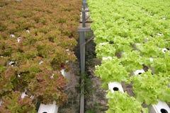 Groente in het Hydroponic landbouwbedrijf royalty-vrije stock fotografie
